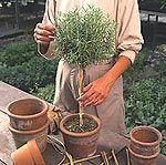 Create a Rosemary Topiary