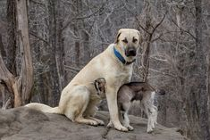 "A two week old goat kid being guarded by a 17 month old, half grown Anatolian Shepherd that already has a 26"" neck."