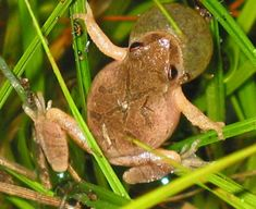 Adult Northern Spring Peeper, photo courtesy of Scott A. Smith