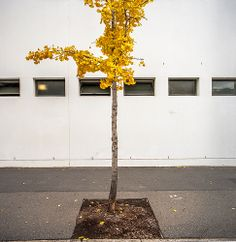 street tree composition - photo by Gary Sauer-Thomps
