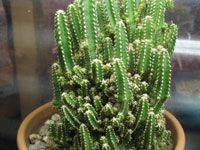 """Cereus tetragonus """"Fairy Castles"""""""