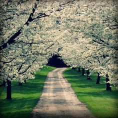 Spring Driveway Photo, White Dogwood Trees Photography, Floral Woodland Decor, Flower Landscape Cottage Bedroom Decor Home Decor Wall Art I WILL plant one of these at my next home! Grew up with a full Dogwood tree in the front yard.