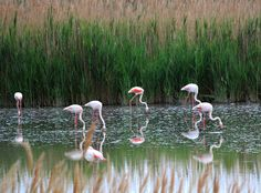 The Camargue in Provence is sandwiched between the Mediterranean Sea and the two arms of the Rhone. With a multitude of landscapes, it always fascinates nature lovers. This whole vast swamp is populated with hundreds of flamingos.