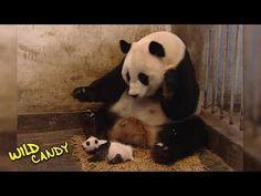 VIDEO: If this funny panda reaction doesn't make you laugh, nothing will! Panda Funny, Cute Panda, Panda Gif, Zoo Animals, Cute Baby Animals, Funny Animals, Baby Remix, Wild Panda, Baby Panda Bears