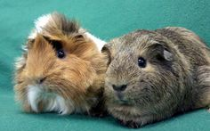 Monique and Victor is an adoptable Guinea Pig Guinea Pig in Lewisville, TX. If you are interested in adopting please visit our website at  www.theguineapigrescue.com and complete the on-line adoptio...