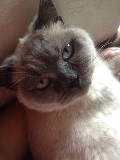 British blue short haired colour point Blue Shorts, British, Colour, Cats, Animals, Color, Gatos, Animales, Animaux