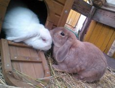 Bunnies Pilvi and Jussi