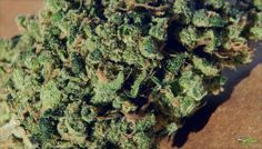 Durban Poison Is A Sativa Landrace Strain of Cannabis From Africa