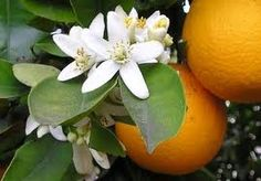 Orange Blossom - Orange Blossoms, the flowers of orange fruit trees, are attractive and inticingly aromatic. If you've ever been to Florida on a beautiful Spring day, you'll be reminded of the scent when you smell our Orange Blossom fragrance oil. Citrus Trees, Fruit Trees, Citrus Fruits, Neroli Essential Oil, Neroli Oil, Essential Oils, Probiotic Drinks, Florida Oranges, Orange Flowers