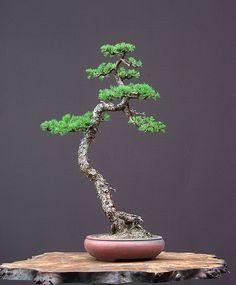 juniperus | literati