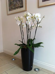 Elegant tall white Phalaenopsis orchids in reception of London West End office's