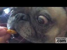 Carlino in Slow Motion   FbSocialPet.com » Canale Video » FbSocialPet: social network per cani, gatti, cavalli, tutti gli animali Il Carlino ha uno straordinario potere: non si può assolutamente fare a meno di sorridere quando se ne incontra uno!  #loveanimals #Ilovepets #IlovemyPug #dogs #FbSocialPet