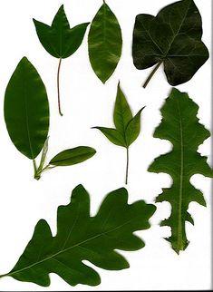 File:Leaves-scan.jpg