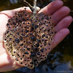 Eggs of wood frog Underwater Creatures, Ocean Creatures, Nature Animals, Animals And Pets, Trypophobia, Plastic Art, Arte Horror, Frog And Toad, Nature