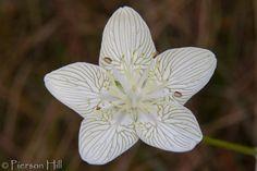 Carolina Grass-of-Parnassus:  Parnassia caroliniana [Family: Celastraceae] - Flickr - Photo Sharing!