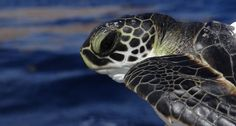 Scientists have long thought green sea turtles and other sea turtles species drifted passively in the oceans. But by tagging 44 turtles, including this green turtle yearling, researchers have found that the animals are swimming. ~~ Univ. of Central Florida (with NMFS Permit #16733)