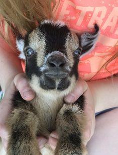 Dwarf Nigerian Pygmy Pot Belly Pigs, Baby Goats, Horse Stuff, Dwarf, Horses, Animals, Animales, Animaux, Horse