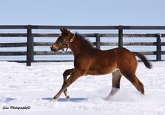 Paynter x Awesome Humor foal - Colt born Feb. 8 at WinStar Farm Sire: Paynter Dam: Awesome Humor (Distorted Humor) Owner: WinStar Farm Photography: Sive Photography