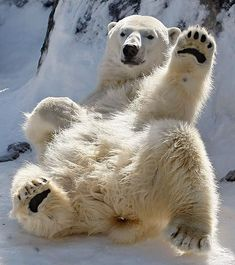 Polar bears at St. Felicien Wildlife Zoo - World News - SINA English Animals Images, Animals And Pets, Baby Animals, Funny Animals, Cute Animals, Wild Animals, Bear Photos, Bear Pictures, Animal Pictures