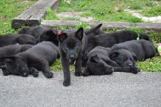 Black German Shepherd puppy pile...who doesn't wanna roll in a pile of puppies?... Ugh I want one sooo bad!!!