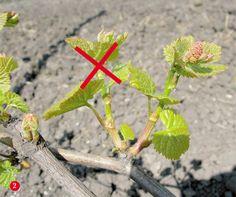 Не перегружайте лозу урожаем | Vladnews.ru: Новости Большого города