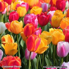 Create a tulip paradise with this rainbow mixture of the best and brightest colors. Guaranteed to brighten up your spring garden.