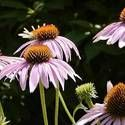 Coneflowers: How to Plant, Grow, and Care for Coneflowers full sun- either for along the side fence or in front yard