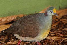 Sulawesi Ground Dove(Gallicolumba tristigmata)