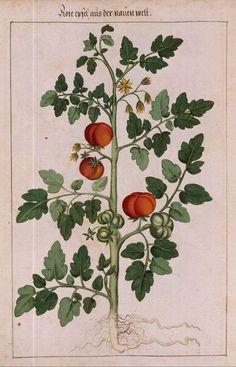 dre057.jpg 514×800 pixels  Red Apples from the New World...(tomatoes)...Johannes Kentmann...Illustration by David Redtel