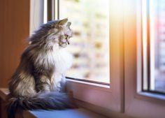 Graue Katze am Fenster zum Artikel Kippfenster-Syndrom bei Katzen
