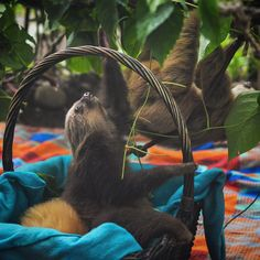 I take my hat off to the volenteers that put so much time an love to rescue and rehabilitate local wildlife in this part of Costa Rica. And I'm instantly smitten with the orphaned baby sloths! . . . #sloth #costarica #puertoviejo #travellingtheworld #traveler #backpacker #digitalnomad #backpackerslife #worldtraveler #wanderlust #wanderland #travellife #travelphotography #travelpics #traveladdict #travel #travelingram #instapassport #mytinyatlas #neverstopexploring #worlderlust #gotravel…