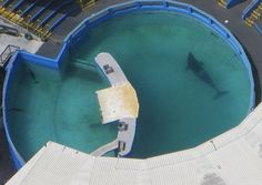 """The """"world's loneliest orca"""" Lolita may see freedom soon."""