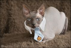 Baci wearing a tie. We had to bribe him with a whole truckload of sardines and mice. #cats #photography