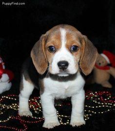 Beagle puppie