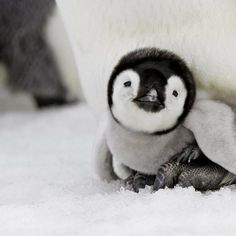 baby penguin We are responsible for their habitat