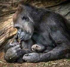 Gorilla mother gazes tenderly at her infant