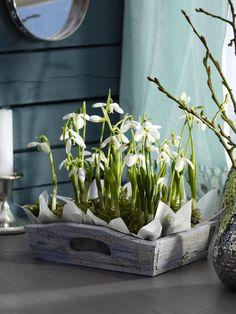 blumen-arrangement holzkiste schneeglöckchen deko ideen Tips For Decorating With a Floral Pattern It Spring Flower Arrangements, Spring Flowers, White Flowers, Floral Arrangements, Beautiful Flowers, Spring Flowering Bulbs, Spring Bulbs, Deco Nature, Deco Floral