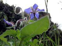 Boragine - fiore ( particolare )