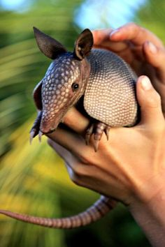 Cute and Beautiful Armadillo Pictures Cute and Beautiful Armadillo Pictures -Beautiful Creatures Beautiful Creatures may refer to: Nature Animals, Animals And Pets, Baby Animals, Funny Animals, Cute Animals, Texas Animals, Armadillo, Tatou Animal, Beautiful Creatures
