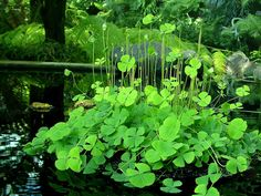 """Water Shamrock (Marsilea quadrifolia) // """"Found this happy shamrock in the Fern Room of the Marjorie McNeely Conservatory – St. Despite its common name, it is actually a fern."""