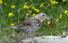 Mijn favoriete tuinvogel: de zanglijster. Een slakkenkiller!