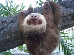 Sloth with white face and brown eyes