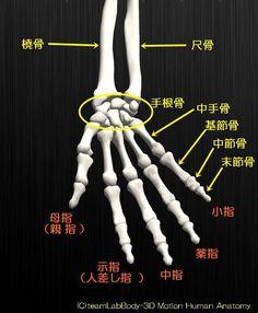 人の骨の名称を解剖のイラスト図手部