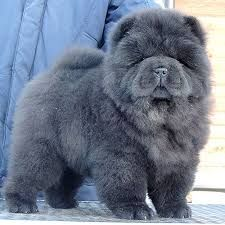 Image result for grey chow chow dog