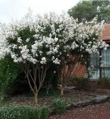 Natchez Crepe Myrtle Tree Mature Height: 20 - 30 feet Mature Spread: 20 feet Sun Exposure: Full or Part Soil Moisture Average Soil Type: Adaptable Flower Color: White Foliage Color: Deciduous Fall Color: Orange/Red Zones: Deciduous Trees, Trees And Shrubs, Flowering Trees, Moon Garden, Dream Garden, Back Gardens, Outdoor Gardens, Crepe Myrtle Trees, Lagerstroemia