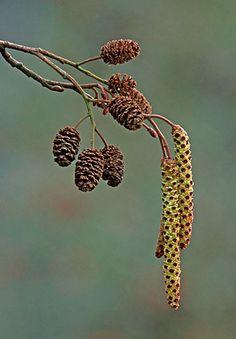 Common Alder (Alnus glutinosa), zwarte els - male and female catkins