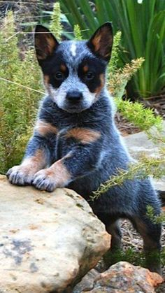 Blue Heeler - Australian Cattle Dog - Renowned for their Intelligence, Loyalty, . - Blue Heeler – Australian Cattle Dog – Renowned for their Intelligence, Loyalty, … - Aussie Cattle Dog, Austrailian Cattle Dog, Cattle Dogs, Cute Dogs And Puppies, I Love Dogs, Doggies, Tier Fotos, Pics Art, Border Collie