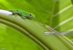 Stock Photo : Madagascar gecko