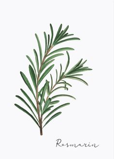 Watercolor Plants, Floral Watercolor, Herbs Illustration, Herb Art, Rosemary Plant, Chalkboard Drawings, Green Wall Art, Leaf Drawing, Plant Painting