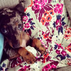 {dolly the doxie} princess-in-making!